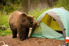 Bear Tent Camping For more great camping info go to http://CampDotCom.Com #camping #campinghacks #campingfun