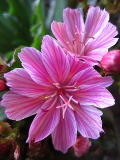 Pink Flowers : Little Plum Lewisia - Flowers.tn - Leading Flowers Magazine, Daily Beautiful flowers for all occasions