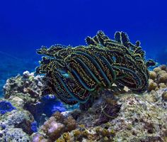 This feather star, Comantheria briareus, is found on coral reefs in the Pacific. Their long arms stretch up into the water to catch food particles both during the day and at night. Their arms are sticky, like velcro, and will attach to just about anything that brushes up against them. Unfortunately for this crinoid, that means its arms are often accidentally ripped off as they are quite delicate and easily detached.