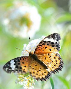 Stunning Butterfly                   (Argyreus hyperbius) on Buddleja