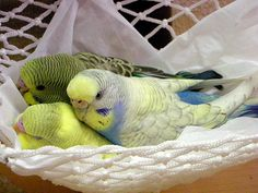 Budgies in a hammock.                                                                                                                                                     More
