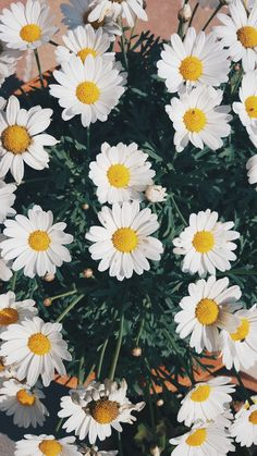 ideas wall paper flowers daisy for 2019 Tumblr Wallpaper, Wallpaper Tumblrs, Daisy Wallpaper, Tumblr Backgrounds, Cute Backgrounds, Wallpaper Backgrounds, Flower Iphone Wallpaper, Phone Wallpapers Tumblr, Flower Aesthetic