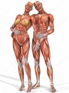 Human Anatomy Male And Female . Human Anatomy Male And Female Female And Male Anatomic Body Couple Stock Photo Picture And Human Anatomy Drawing, Human Body Anatomy, Muscle Anatomy, Body Drawing, Anatomy Male, Anatomy Models, Anatomy For Artists, Body Reference, Anatomy Reference