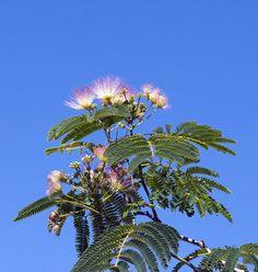 Albizia julibrissin arbre soie 10 graines - Arbre ver a soie ...