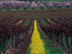 Vineyards and Almond Trees in the Mclaren Vale District, Australia Photographic Print by Diana Mayfield at AllPosters.com