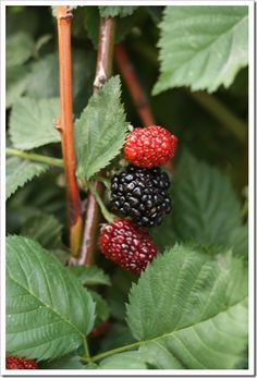 How to grow strawberries, blackberries and raspberries