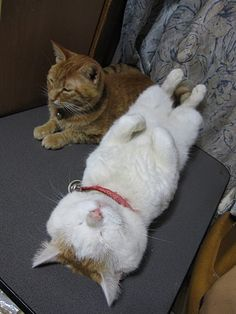 From www.lovemeow.com  Shironeko - the most relaxed feline, online.