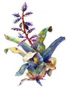 Bromeliad, Aechmea Del Mar by Amber R. Turner. Watercolor.