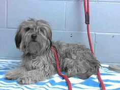 This DOG-ID#A477250  I am a male, white and gray Havanese. Shelter staff think I am about 1 year and 1 month old. I have been at the shelter since Dec 23, 2014.  If you are my owner, you must physically come to the shelter to claim me. We are located at 333 Chandler Place, San Bernardino, CA 92408. Our Lost & Found hours are Tuesday-Saturday 10:00 am to 5 pm.  A picture ID (such as a driver's license) is required to redeem me. There are also fees like impound, board and license that must…