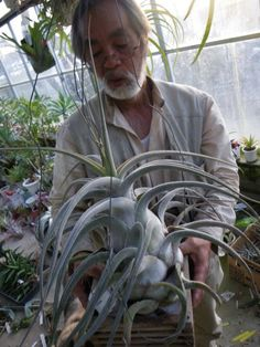 Huge Tillandsia ehlersiana