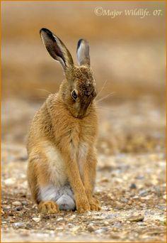 hare - Google Search