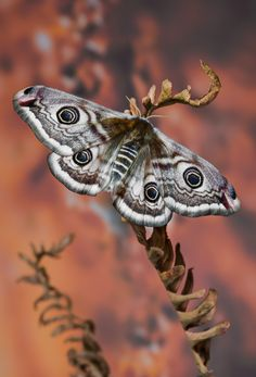 The Small Emperor Moth - Saturnia pavonia -