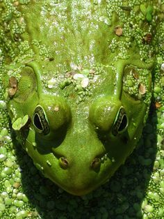 verde---➽viridi➽πράσινος➽green ➽verde➽grün➽綠➽أخضر ➽зеленый Reptiles And Amphibians, Mammals, Funny Frogs, Green Frog, Frog And Toad, Belleza Natural, Shades Of Green, Green Colors, Favorite Color