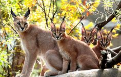 *Caracal cat Peggy, left, sits with her kittens, from right, females Aziza and Binti and male Mkuze at the Oregon Zoo in Portland, Oregon, on September 1, 2011. (AP Photo/Don Ryan) #