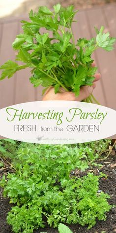 Harvesting Parsley Fresh From The Garden is part of Growing parsley - Parsley is an easy to grow, cold hardy herb you can enjoy all summer Harvesting parsley is easy, cut or pinch off each sprig at the base of the plant Growing Herbs, Growing Vegetables, Parsley Growing, How To Grow Parsley, Gardening For Beginners, Gardening Tips, Parsley Plant, Potager Bio, Types Of Herbs