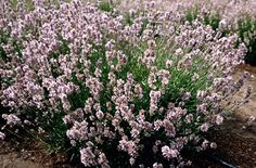 Lavandula angustifolia 'Miss Katherine' -- 'Miss Katherine' is a bushy evergreen shrub to 75cm in height, with narrow, grey-green leaves and highly fragrant spikes of light pink flowers with silvery-green calyces