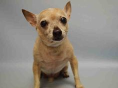 SAFE 7-21-2015 by Unwanted NYC Pets --- SUPER URGENT Manhattan Center ARTURO – A1043785  MALE, TAN, CHIHUAHUA SH MIX, 12 yrs STRAY – STRAY WAIT, NO HOLD Reason STRAY Intake condition GERIATRIC Intake Date 07/13/2015