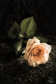Raindrops and Roses : Photo All Flowers, Flowers Nature, Pretty Flowers, Beautiful Morning Messages, Rose Flower Wallpaper, Raindrops And Roses, Garden Pictures, Nature Pictures, Love Rose