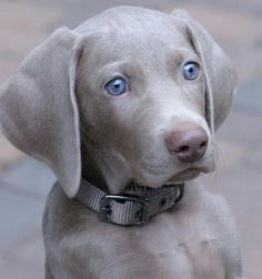 Sliver Male Weimaraner. Expecting April 2014.