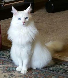 Gato Blanco | MIS GATOS | Pinterest | White cats and Cat