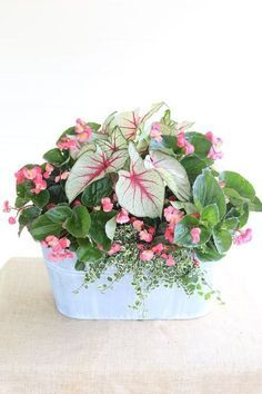 Shade-loving mix container planting | White Queen Caladiums, Whopper Begonia, Variegated Creeping Fig from Carmen Johnston Gardens.