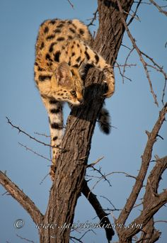 Serval Thinks Leopard?