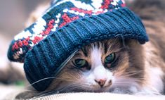 cats blue eyes wears cap  white cat with blue eyes breed  cute cats wearing hats  coby the cat breed  cody the blue eyed cat  british shorthair white blue eyes for sale  cat wearing sunglasses wallpaper  beautiful cat eye makeup  cat with eyeliner breed