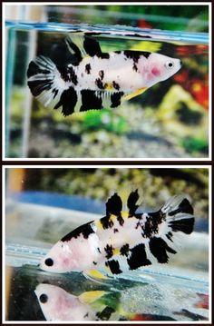 I love the small bits of yellow on her body and fins. Koi Betta, Betta Aquarium, Pretty Fish, Beautiful Fish, Oscar Fish, Betta Fish Types, Cute Reptiles, Fish Care, Siamese Fighting Fish
