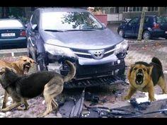 Бродячие собаки разобрали внедорожник RAV4