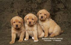 Puppies! | Five Weeks Old | Fox Red Labrador | Balsam Branch Kennel | fox-red-lab-puppies-balsam-branch-kennel-trb-5wks-females