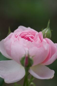 English Roses Scepter'd Isle