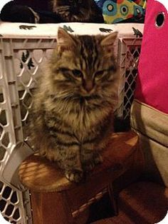 2/19/14: Springfield, VA - Maine Coon. Meet Atticus a Cat for Adoption.