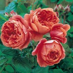 Summer Song - David Austin Roses