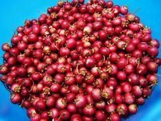 growing cranberries(c)Morguefile.com