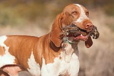 The Bracco has been bred for decades in Italy. Read the full Bracco Italiano breed profile at Gun Dog.