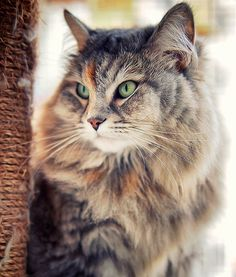 """""""10 Hypoallergenic Cat Breeds"""" two maybes: Russian Blue and Siberian (pictured)"""