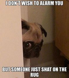 Funny pictures about Peeking Pug Has Some Bad News. Oh, and cool pics about Peeking Pug Has Some Bad News. Also, Peeking Pug Has Some Bad News photos. Funny Shit, Funny Dog Memes, Haha Funny, Funny Cute, Funny Dogs, Funny Stuff, Super Funny, Doge Meme, Funny Humour
