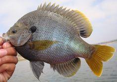 Common pond fish primer (sunfish edition) | Common Pond Q&A (archives) | Pond Boss Forum