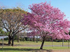 El árbol tajibo rosado y amarillo.