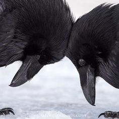 Raven Love - a moment of tenderness between a pair of Ravens