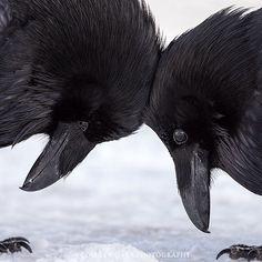Colleen Gara's amazing picture of 2 ravens. Echte liefde tussen raven? Ga daar maar van uit. Eekhoorns die de namen van hun familieleden kennen? Is allang aangetoond. Waar je ook kijkt: dieren houden van elkaar, voelen met elkaar mee en genieten van het leven. Uit 'Het innerlijke leven van dieren' van Peter Wohlleben.