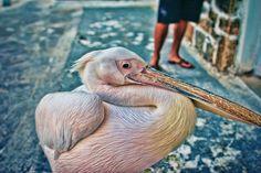 Pelican!    http://blog.contiki.com/2012/08/01/greek-island-hopping-with-the-boys-of-sundayfundayz