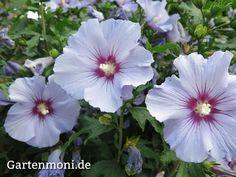 Hibiskus, pflanzen, Standort,  pflegen, schneiden, düngen, Wasser,