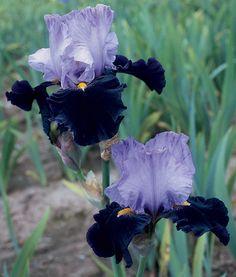 Habit   Fragrant Iris