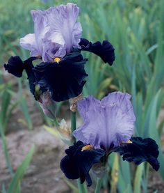 Habit | Tall Bearded Bloom Season: Midseason Fragrant: Yes Rebloom: No This excellent neglecta's pale violet standards nicely complement its dark purple-black falls. Gold beards set a striking contrast as shown in our photo. A pronounced sweet fragrance adds to Habit's allure.