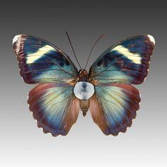 Euphaedra Species