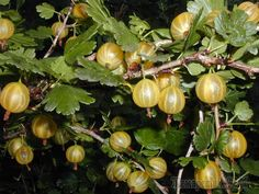 Сочный крыжовник относится к разряду неотъемлемых растений, которые выращиваются в отечественных садах. Этот ягодник может произрастать более 30 лет при благоприятных условиях, и радовать хозяев обиль...