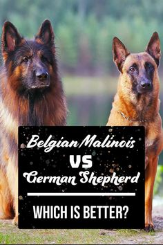 Belgian Malinois vs German Shepherd Which is better? - Choosing the right dog for you