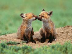 Pics Mixer: Fox Wallpapers I HD Fox Wallpapers I Best Fox Wallpapers I Download free