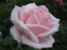 Top 10 Best Fragrant Roses in the World Royal Highness